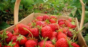 Wisata Petik Strawberry